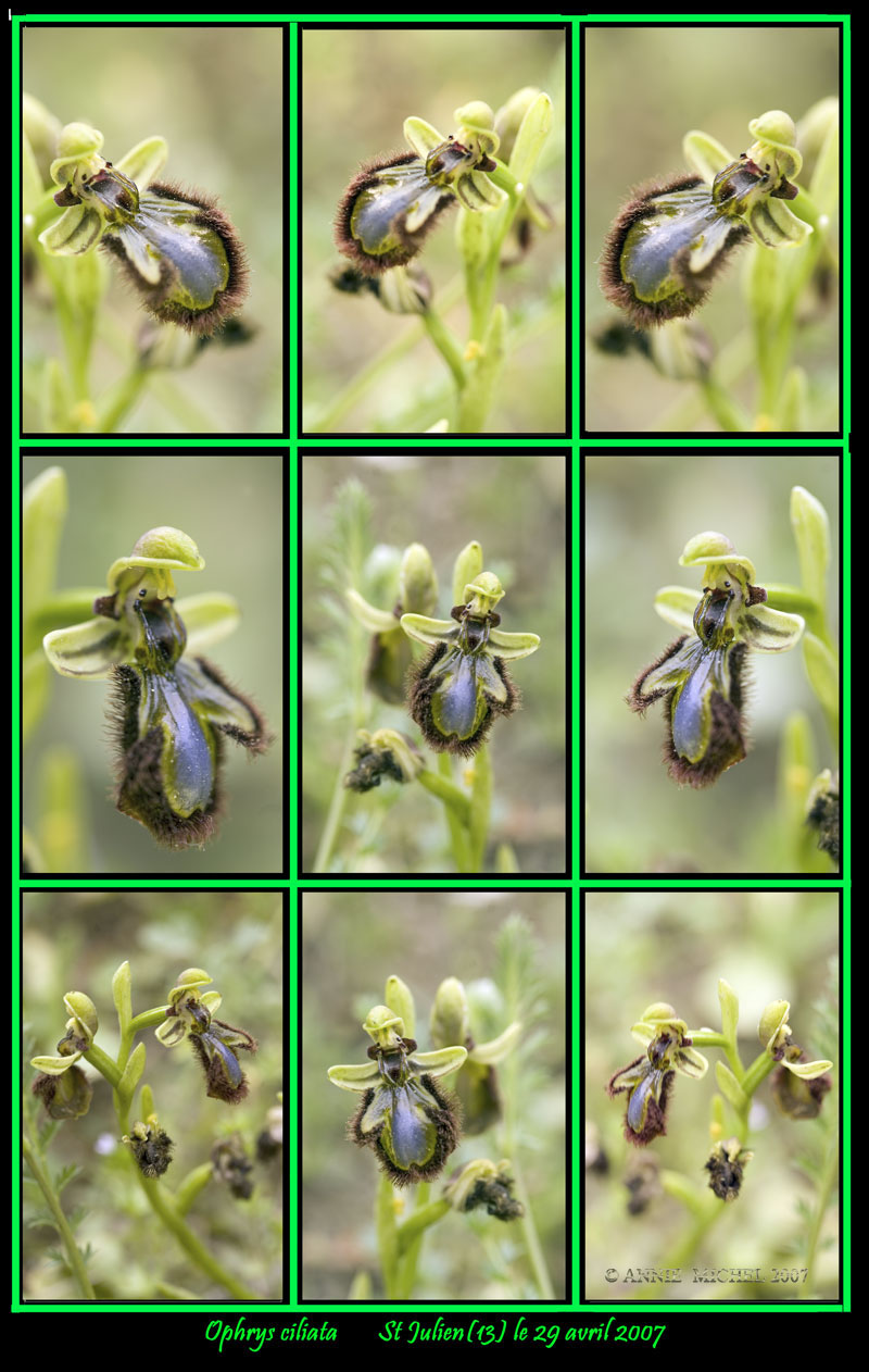 Ophrys ciliata Cadre-10