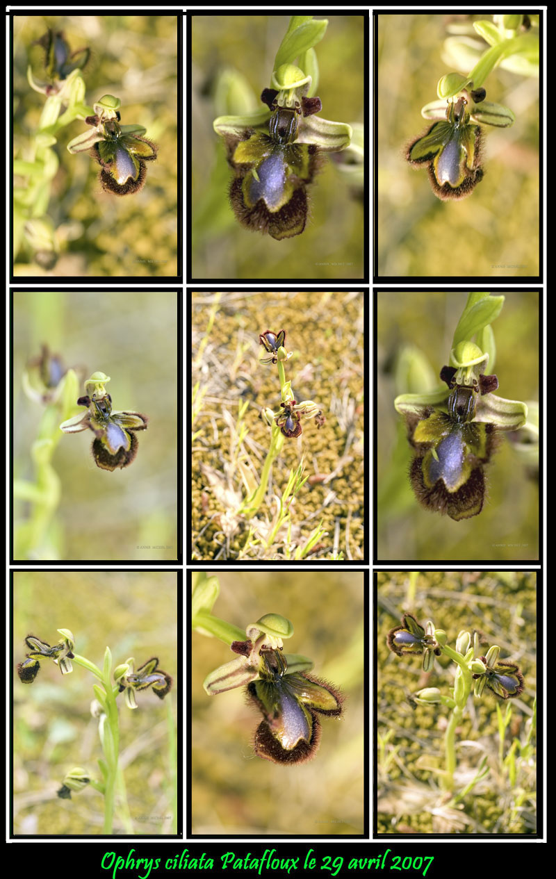Ophrys speculum( Ophrys miroir ) Collec12