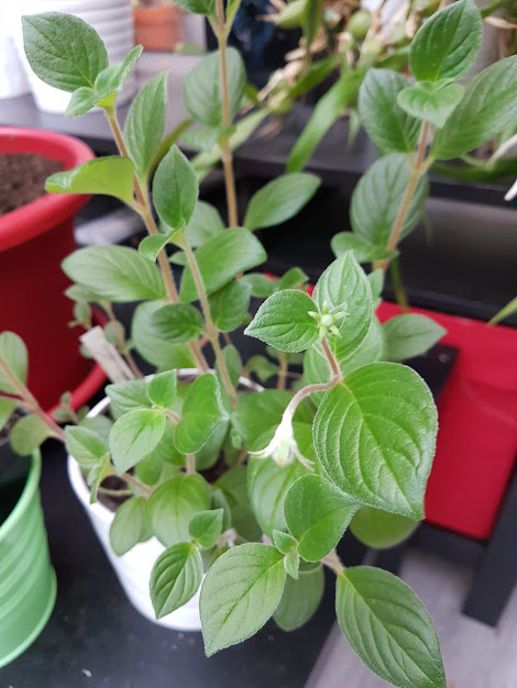 Seemannia nematanthodes 'Evita' - Page 2 Seeman10