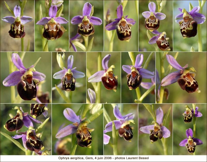 Ophrys aergitica (variabilité) Aergit11