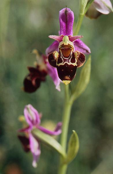 Ophrys aergitica (variabilité) Aergit12