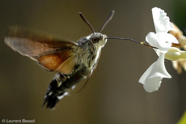 Moro sphinx (Macroglossum stellatarum) et autre papillon Moro110