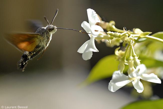 Moro sphinx (Macroglossum stellatarum) et autre papillon Moro210