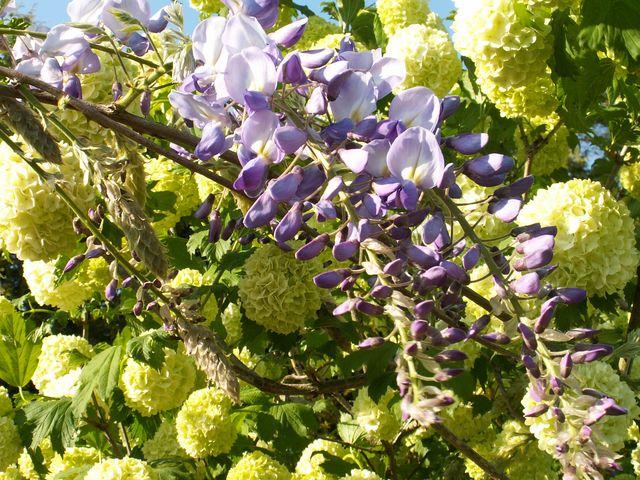 """"""" Un bouquet de glycines"""" D' Olivier Pict0410"""