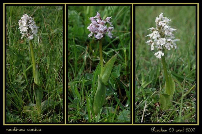 Neotinea conica ( Orchis conique ) Raude_17