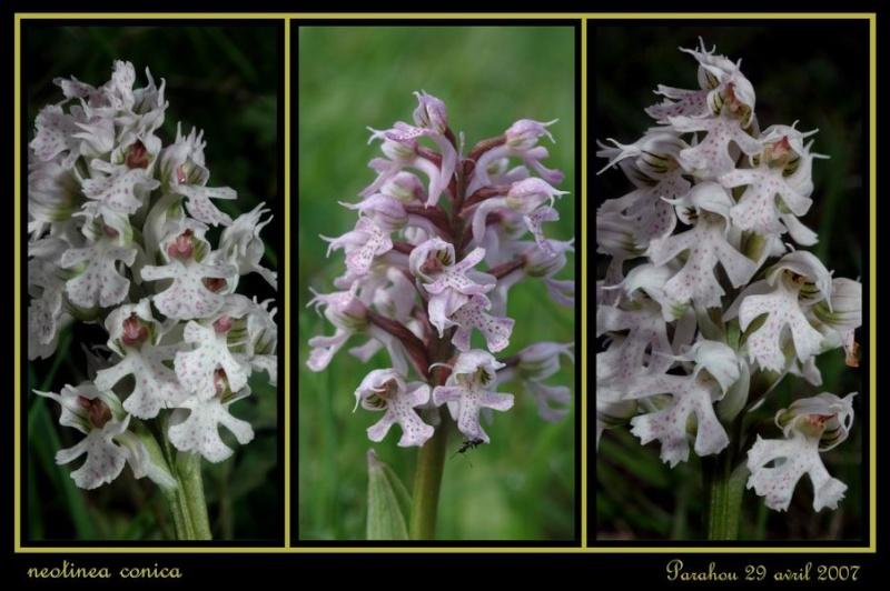 Neotinea conica ( Orchis conique ) Raude_18