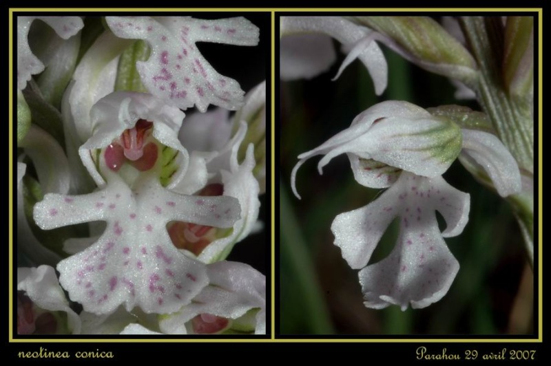Neotinea conica ( Orchis conique ) Raude_19