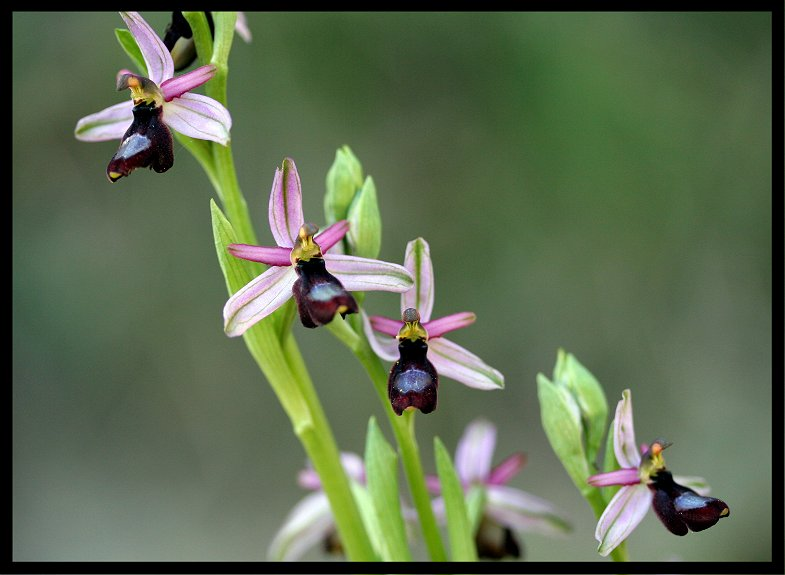Ophrys drumana Ophrys12