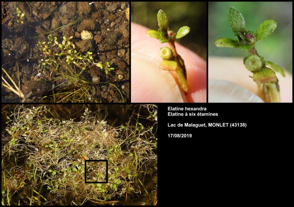 Quelques observations en Haute Loire Elatin10