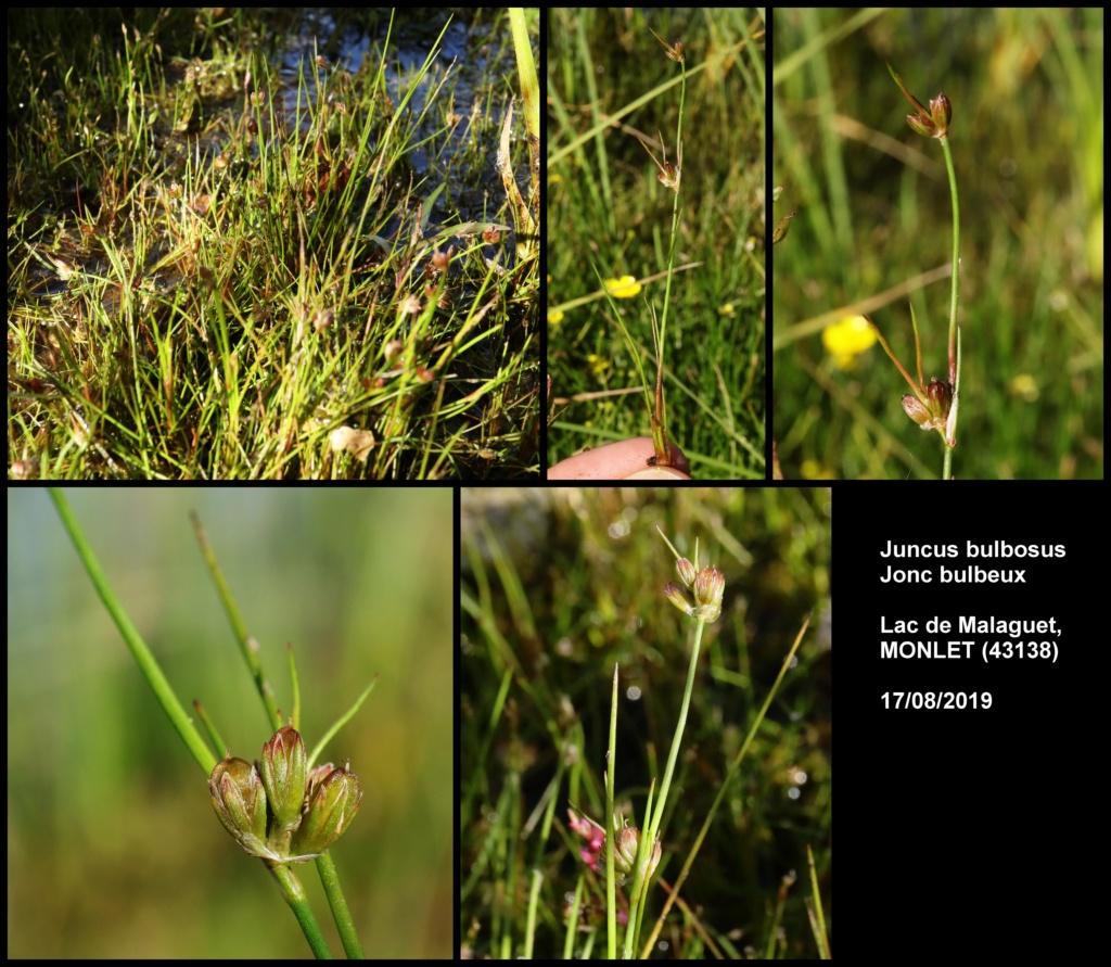Quelques observations en Haute Loire Juncus10