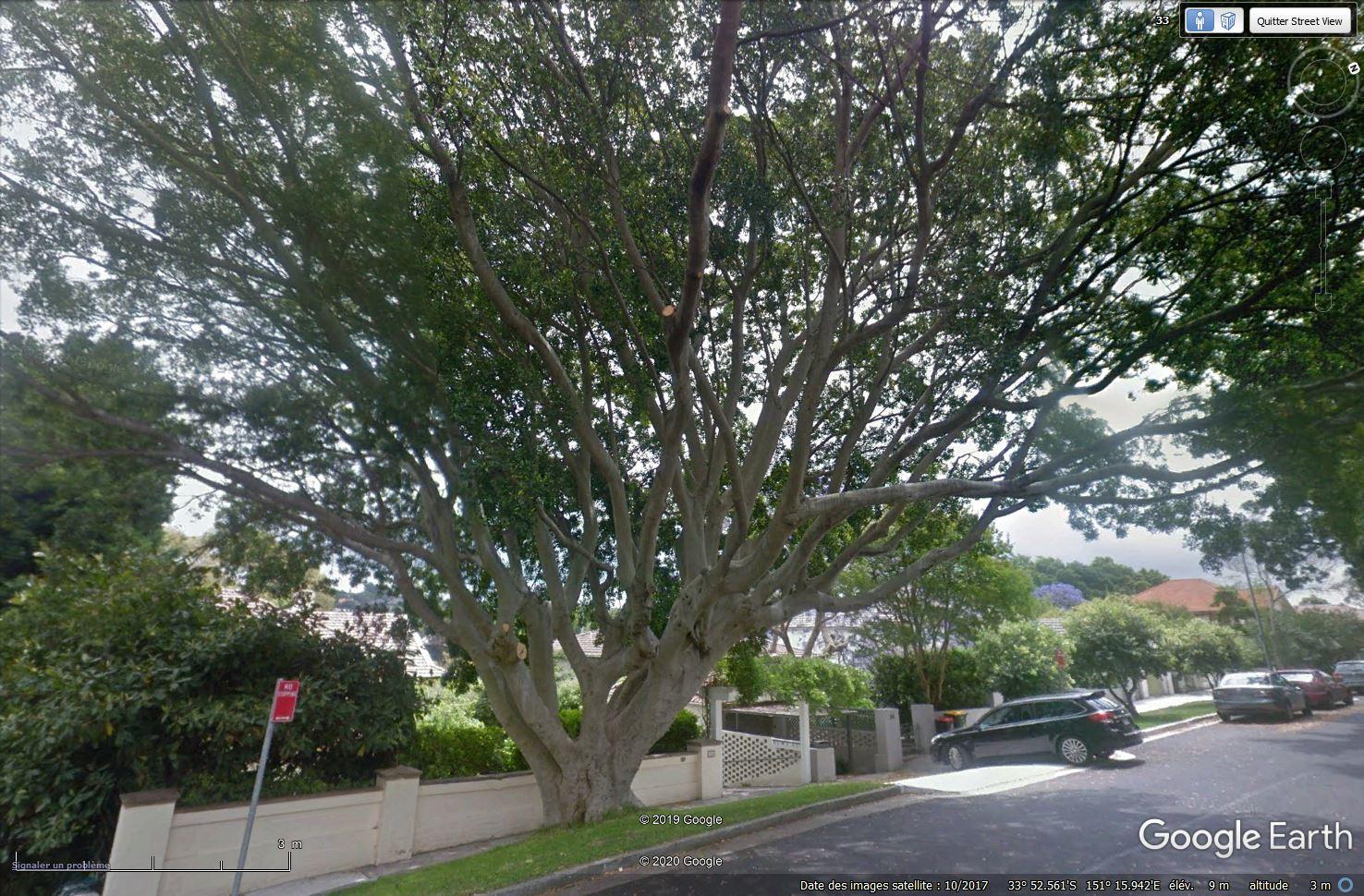 Essence d'arbre, Sydney - Australie [C'est quoi ?] Tsge1006