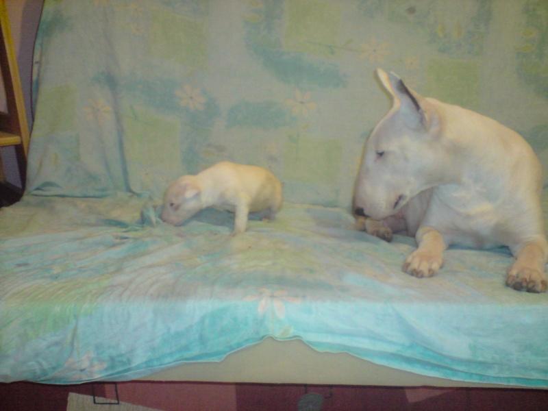 ilex - a venir des bebe bull de siana et despue des terres d' ilex P1812010