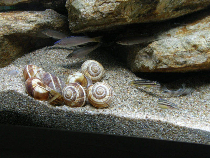 Mes cichlidés du Tanganyika et Synodontis P2049112