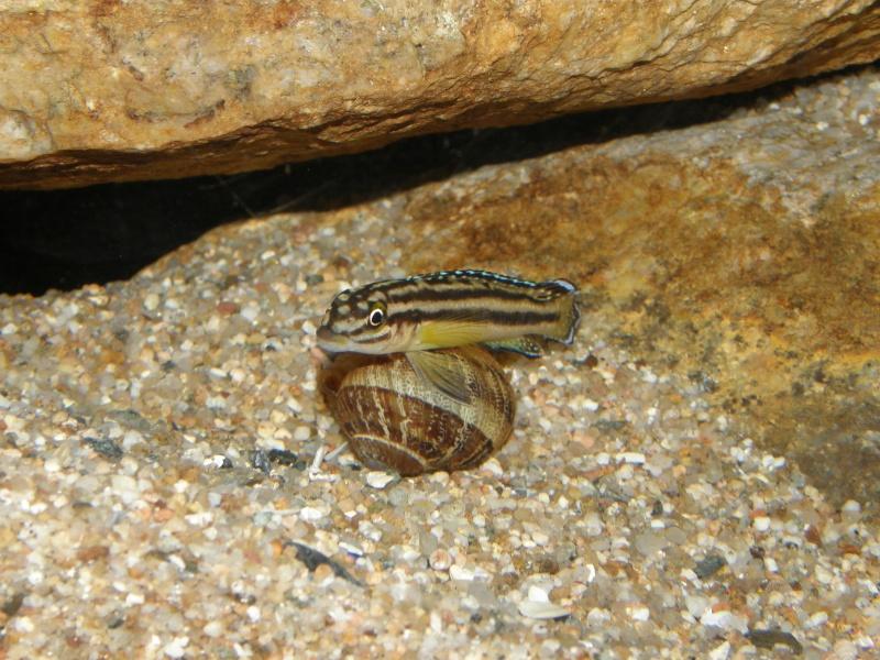 Mes cichlidés du Tanganyika et Synodontis P2069110