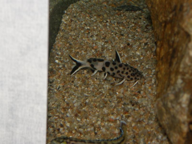Mes cichlidés du Tanganyika et Synodontis P2069118