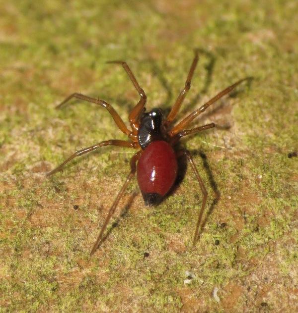 """L'araignée aux """"fesses noires"""" 19_12_11"""