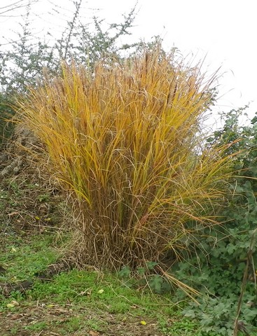 Recherche Plant Herbe de la Pampa 16122023