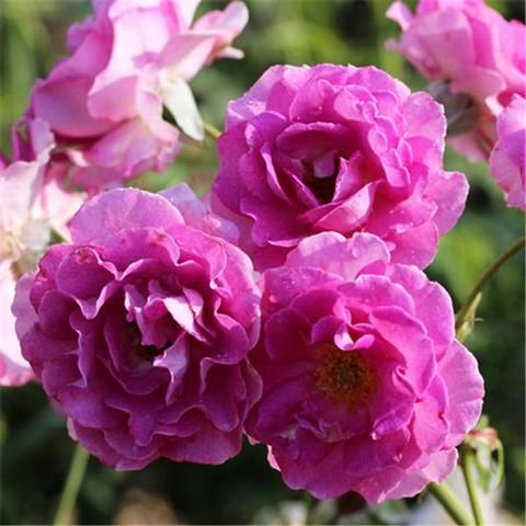 rosier lavande parfumée I-gran10