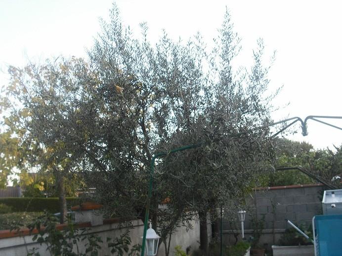 Propriétés de la feuille d'olivier 1aa10