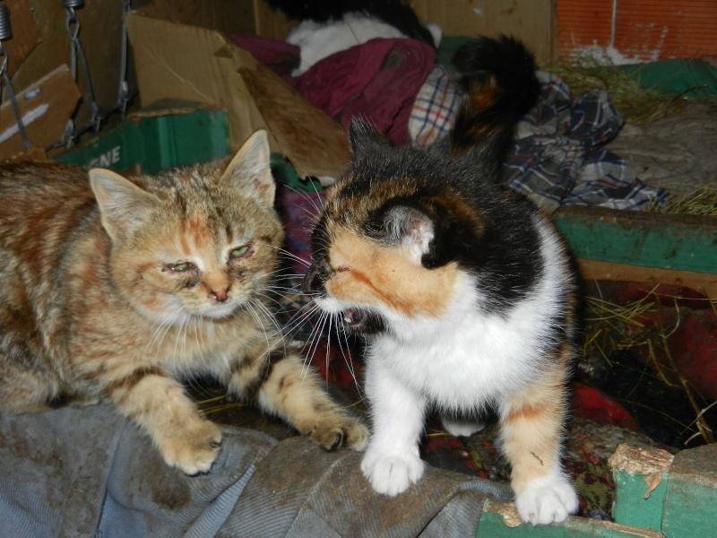 Dpt 48 - Aumont - 2 chatons femelles, tricolore et tigrée - Coryza - En soin...  Dscn4012