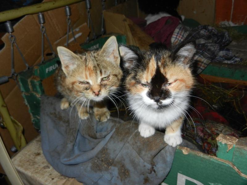 Dpt 48 - Aumont - 2 chatons femelles, tricolore et tigrée - Coryza - En soin...  Dscn4013