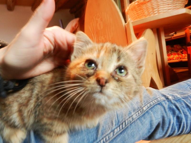 Dpt 48 - Aumont - 2 chatons femelles, tricolore et tigrée - Coryza - En soin...  Dscn4113