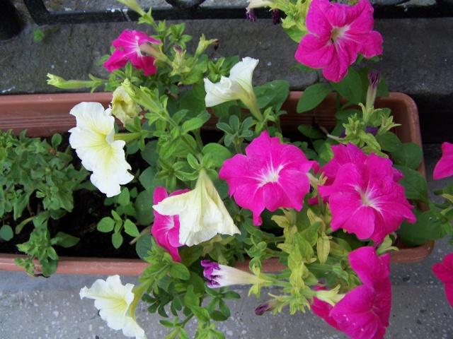 Florile din apartament Pictur11