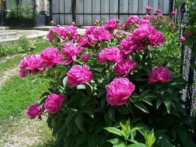 Florile din apartament Pictur16