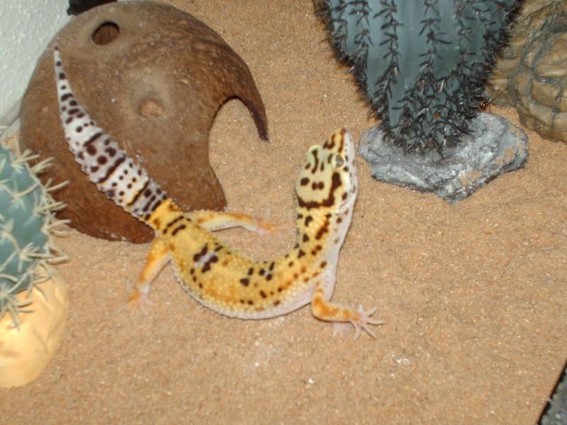 [A vendre] Geckos Léopard A13