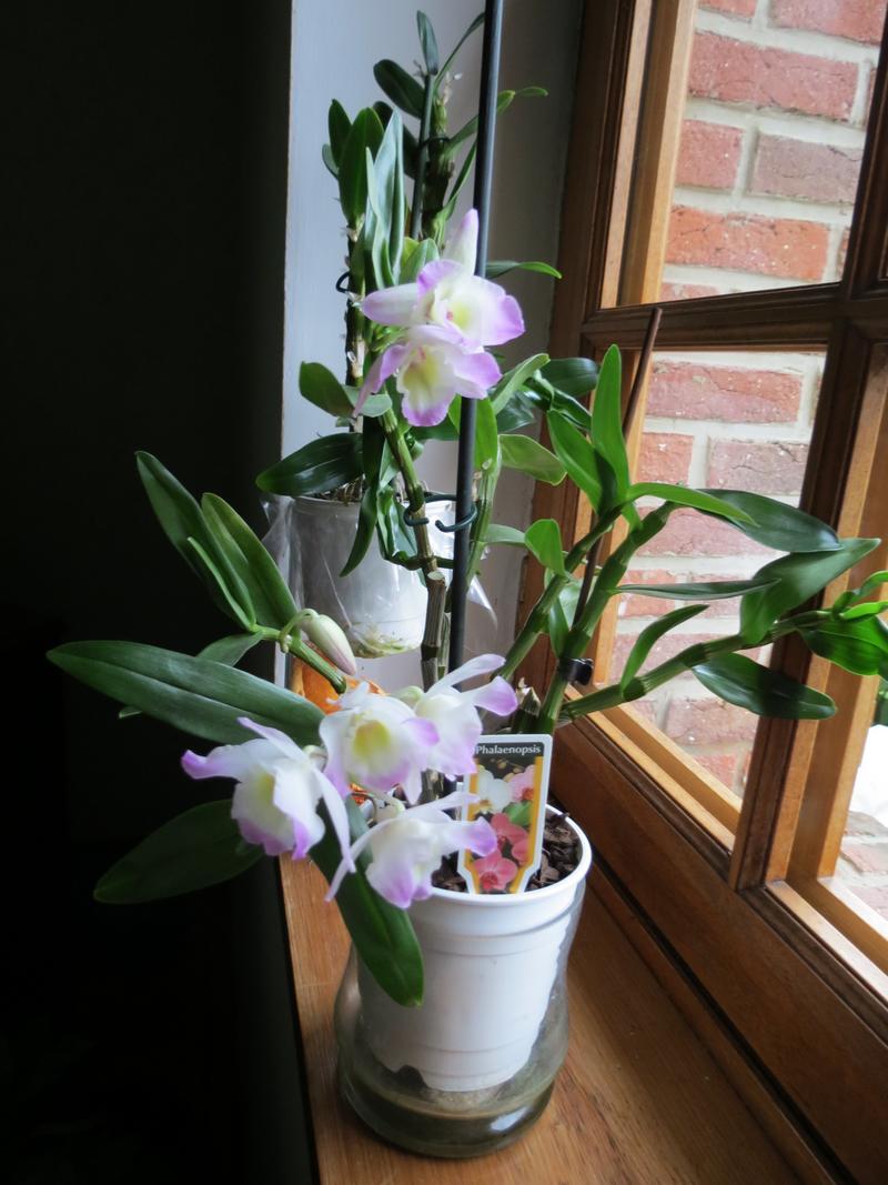 dendobrium Orchid11