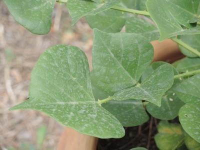 Erythrina humeana - Page 2 Dscn5810