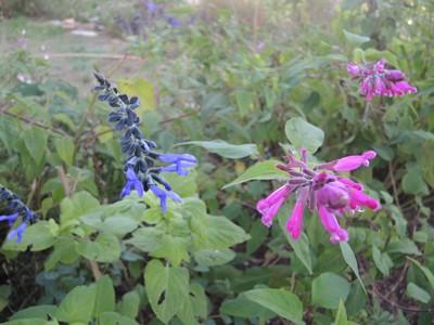 Salvia - les floraisons du moment - Page 19 Dscn6610