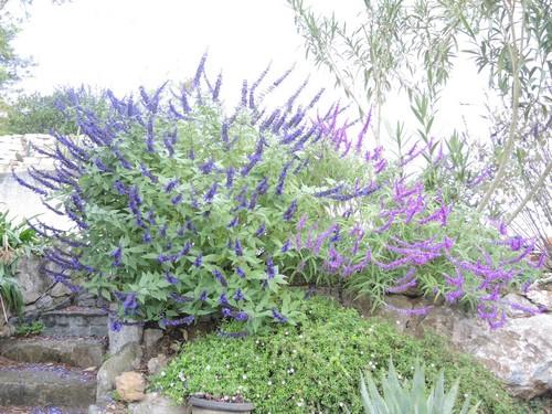 Salvia - les floraisons du moment - Page 19 Dscn6711