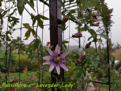 Passiflora x 'Lavender Lady' Img_2018