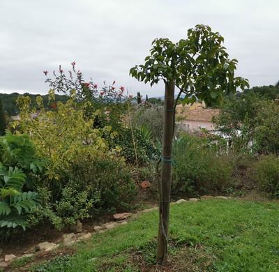 Cinnamomum camphora - camphrier - Page 4 Img_2033
