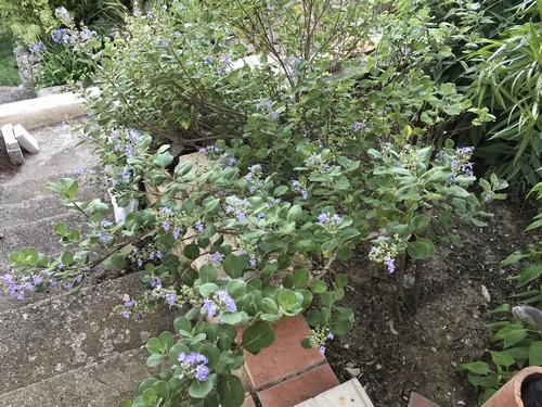 Vitex trifolia subsp. litoralis (= Vitex rotundifolia) Img_2514