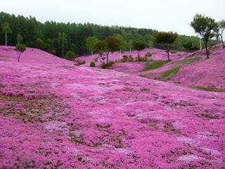 بالصور: شاهدوا المنتزه الوردي في اليابان 1014