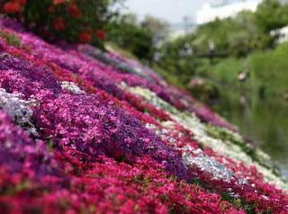 بالصور: شاهدوا المنتزه الوردي في اليابان 1313