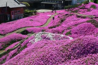 بالصور: شاهدوا المنتزه الوردي في اليابان 1413