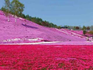 بالصور: شاهدوا المنتزه الوردي في اليابان 1513