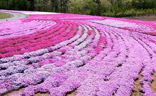 بالصور: شاهدوا المنتزه الوردي في اليابان 1711