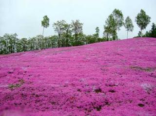 بالصور: شاهدوا المنتزه الوردي في اليابان 2010