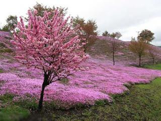 بالصور: شاهدوا المنتزه الوردي في اليابان 219