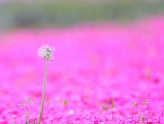 بالصور: شاهدوا المنتزه الوردي في اليابان 321