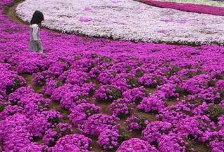 بالصور: شاهدوا المنتزه الوردي في اليابان 418