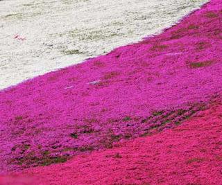 بالصور: شاهدوا المنتزه الوردي في اليابان 619
