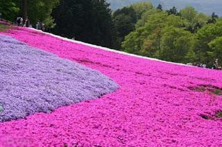 بالصور: شاهدوا المنتزه الوردي في اليابان 716