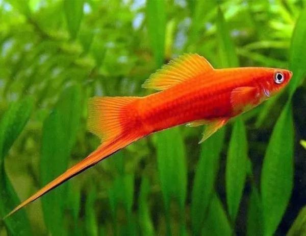 سمك مولي Molly-12