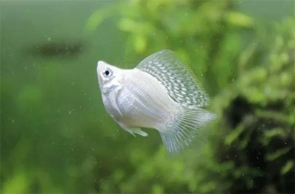 سمك مولي Molly-13