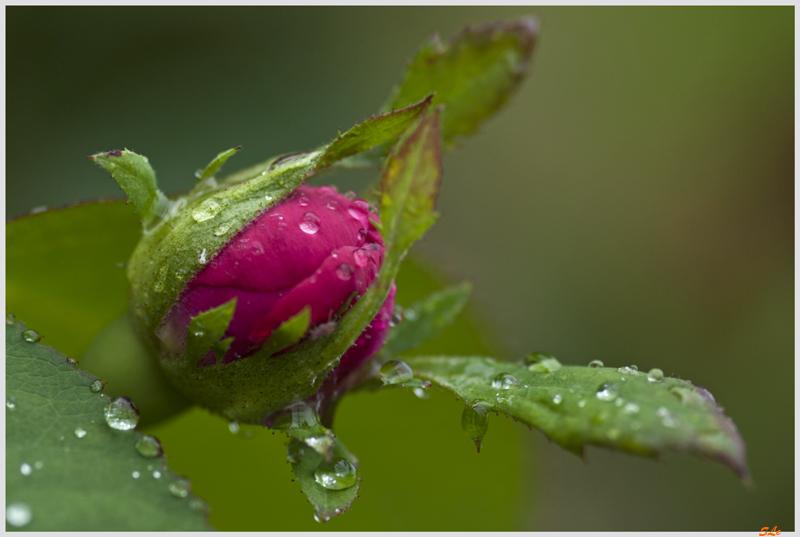 Les roses de glace ou de rosée / pluie - Page 4 800_ig11